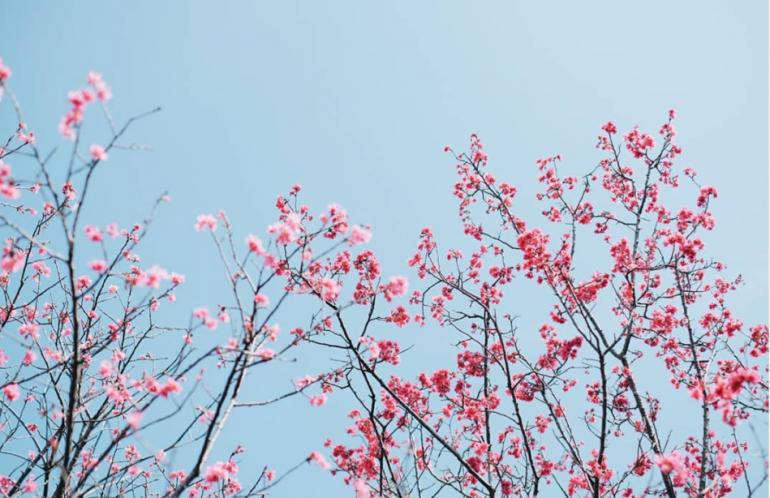 Thưởng Thức Ngắm Hoa Anh Đào Siêu Đẹp Tại Đài Loan