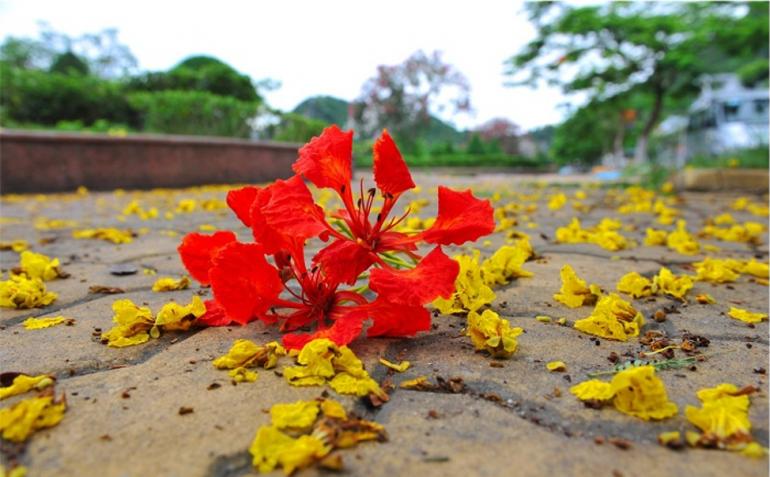 Hải Phòng – Xao xuyến mùa hoa phượng