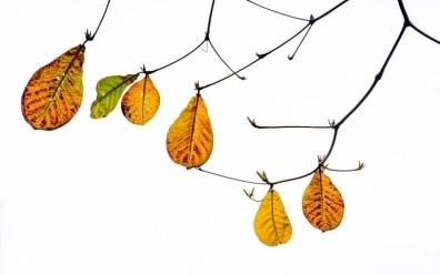 Đi tìm cây bàng lá đỏ